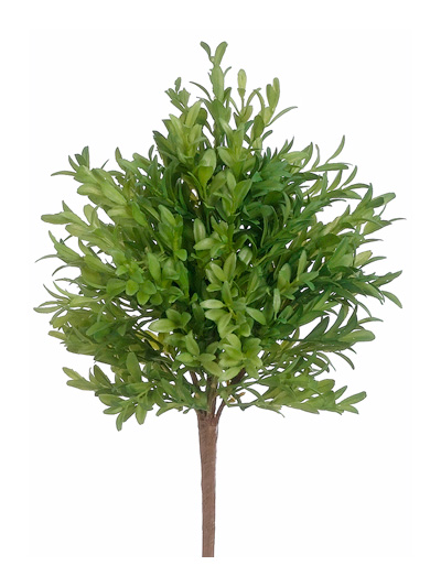 Christmas Bush Tea.Tea Leaf Bush 15 In