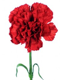 Carnation_Spray__4d8d14a281752.jpg