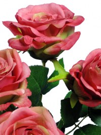 Rose_Bush_21.5_i_4d8135ee22cbf.jpg