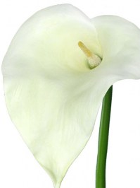 Calla_Lily_Giant_4f4554aa0632a.jpg
