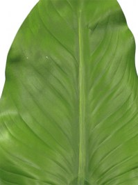 Calla_Lily_Leaf__5151fee9023d5.jpg